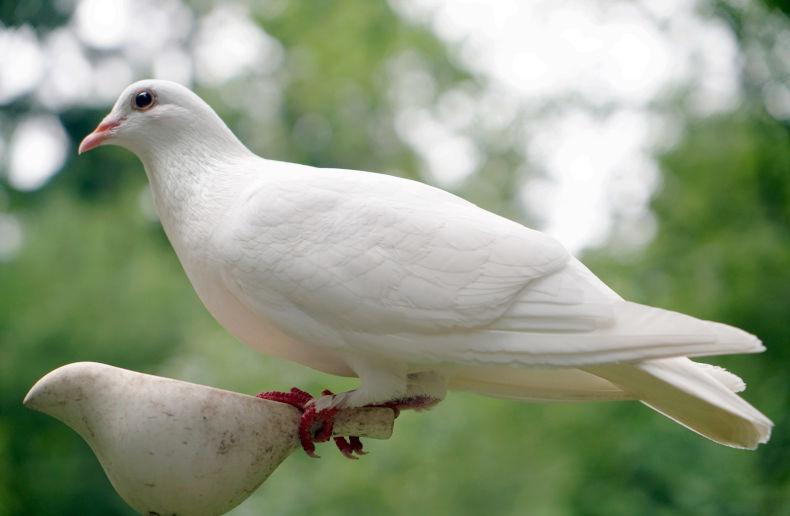 Valkoinen kyyhkynen